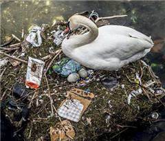 哥本哈根污染加重 天鹅在湖面塑料垃圾堆上孵卵