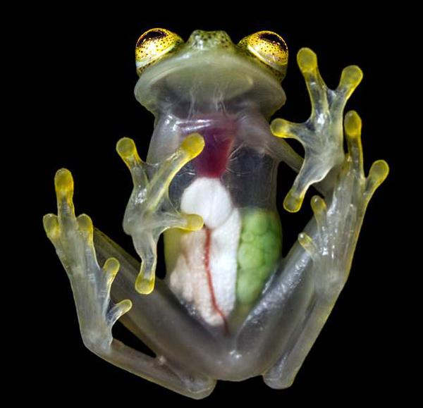 厄瓜多尔玻璃蛙全身透明 内部器官清晰可见