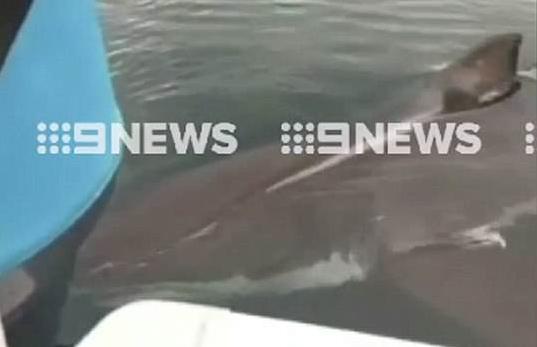 惊险!澳四米长大白鲨撕咬船只吓坏船上父子
