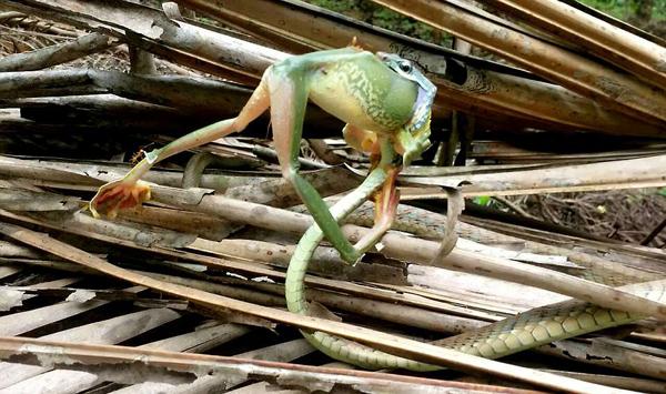 印小蛇四两拨千斤贪婪吞食大青蛙