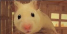 小仓鼠Vanilla在他的小厨房