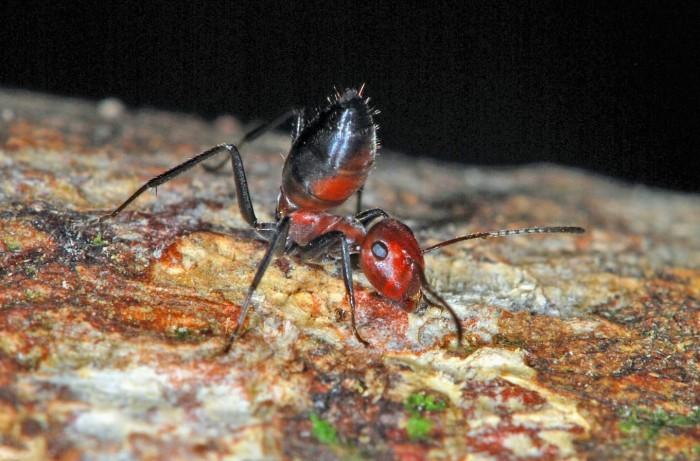 新物种爆炸蚂蚁被发现 能自爆拯救群落