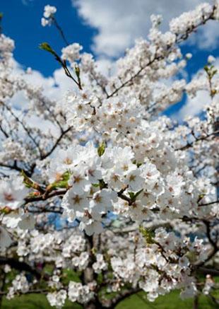 樱花盛开,烂漫春夏!