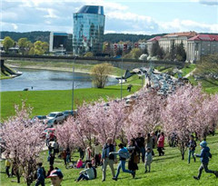 立陶宛首都维尔纽斯樱花盛开