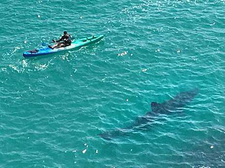 英海岸皮划艇旁现七米长姥鲨 幸未遭袭击