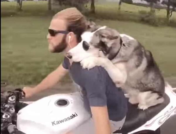 酷炫!美哈士奇与主人戴墨镜骑摩托车兜风