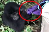 人畜无害?小猩猩一秒变身 撕扯女游客外套