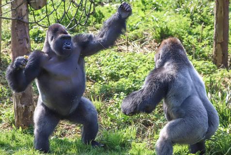 英国大猩猩表演精彩拳击赛 奋力为食物而战
