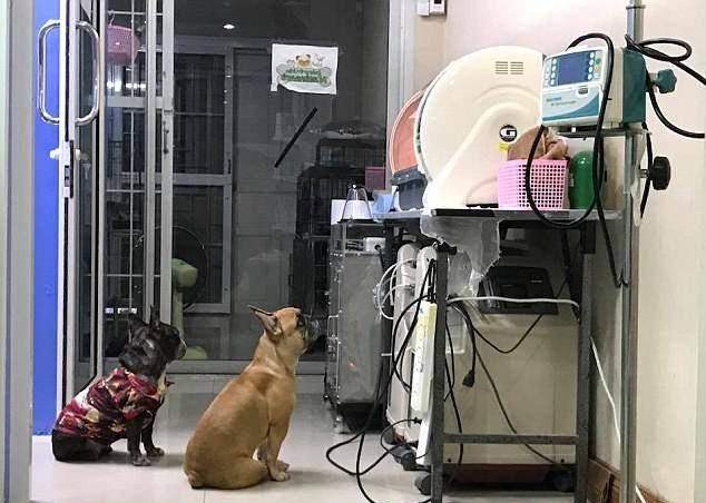 泰国一早产狗崽住进保育箱 狗妈寸步不离守护