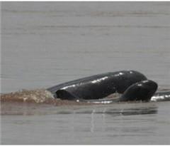 柬埔寨濒危伊河豚数量增加 官员:生存仍面临威胁