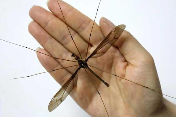 成都现翅展达11.15厘米巨型蚊子 大小超成人手掌