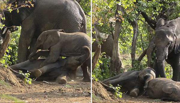 """南非两顽皮小象土地摔跤引大象上前""""劝架"""""""