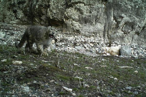 青海祁连山天峻区域拍摄到多个雪豹影像