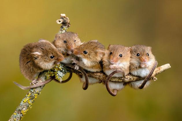 英国小老鼠树上排成排 其乐融融暖化人心