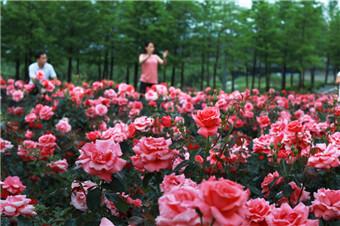 义乌:月季飘香花满城