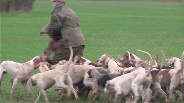 残忍!英猎犬群狩猎狐狸将其撕碎视频引网友不满