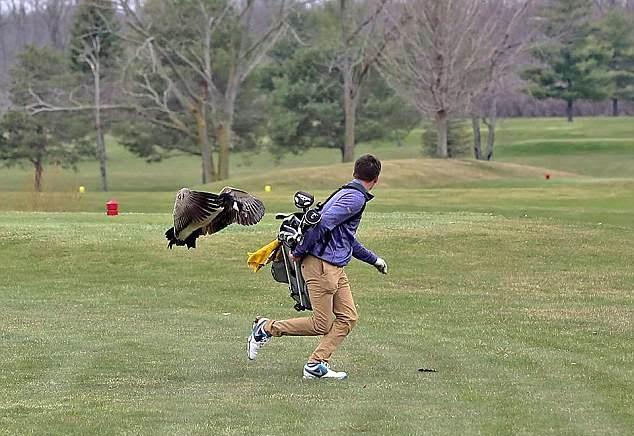 英国高尔夫比赛选手在球场遭野鹅突袭摔翻在地
