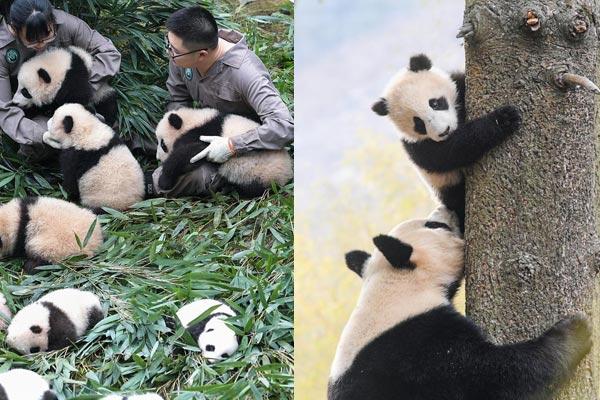 """""""熊猫王国""""的震后重生"""