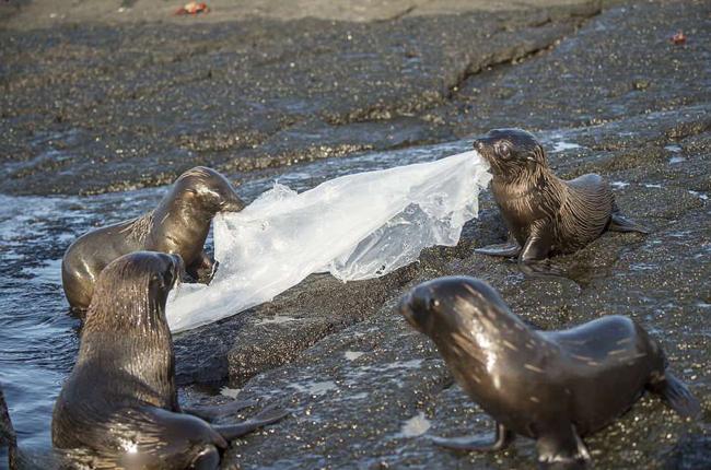 """厄瓜多尔海豹捡到塑料垃圾当玩具 玩起""""拔河""""游戏"""