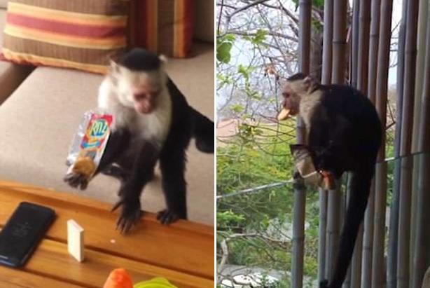 """哥斯达黎加猴子酒店客房抢走客人零食现场""""销赃"""""""