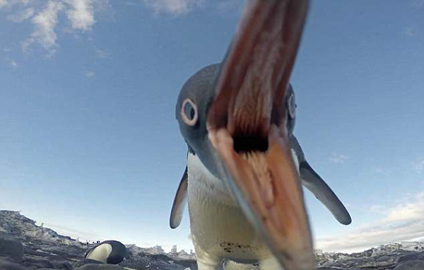 南极调皮企鹅偷相机自拍酷似哥斯拉
