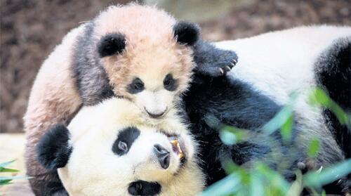 """法媒:旅法中国熊猫人气超""""法国第一景"""""""