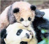 """旅法熊猫""""圆梦""""成动物园明星 推动当地旅游业"""