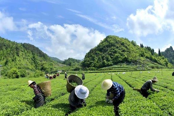 """湖北宣恩:茶农""""抱团""""抢春茶"""