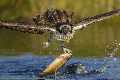 天生猎人!英国鱼鹰飞速捕食精彩瞬间