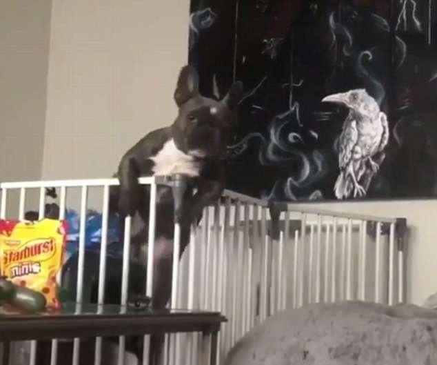 美宠物狗为偷吃糖果逃离围栏 场面逗趣引人捧腹