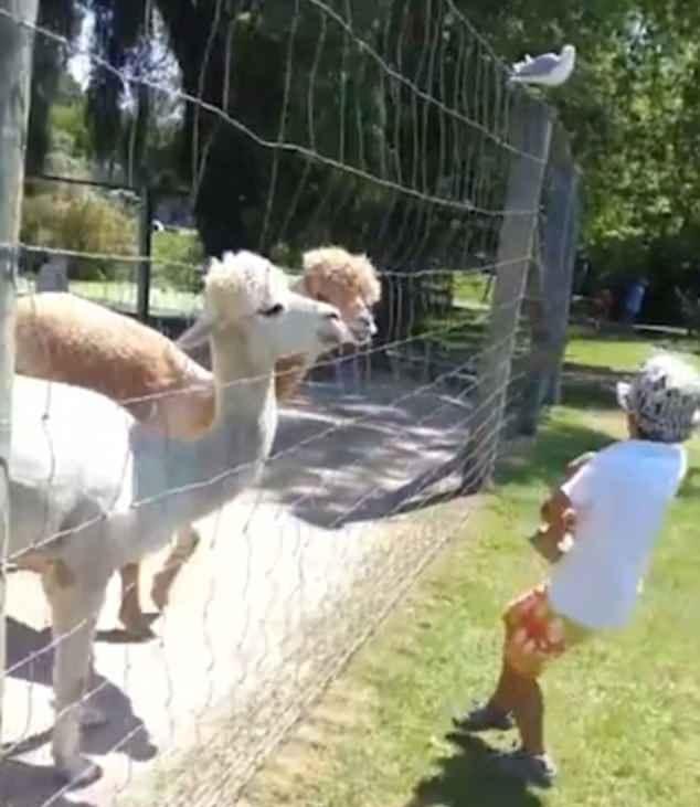 调皮!加拿大男孩用食物戏弄羊驼被吐一脸口水