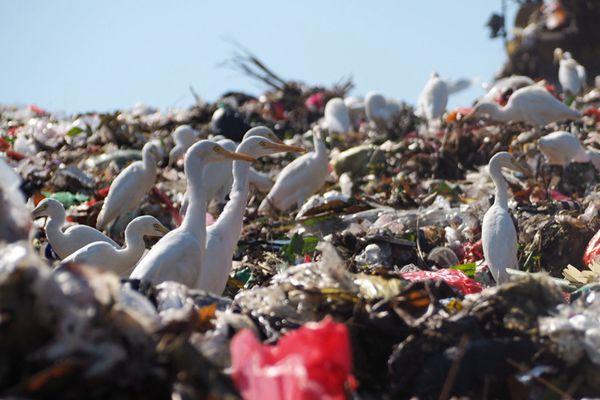 印尼巴厘岛垃圾堆成山 成群白鹭在垃圾中觅食