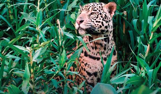 人多势众!一群水獭竟然吓跑了一只美洲豹