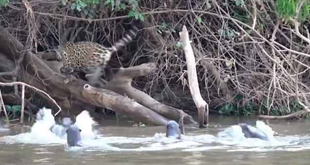 出乎意料!巴西一群水獭凶猛扑叫吓跑美洲豹