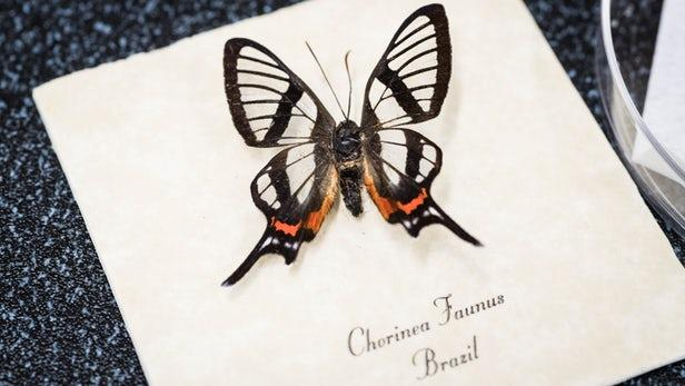 受蝴蝶启发 科学家研发出更好的眼部植入物