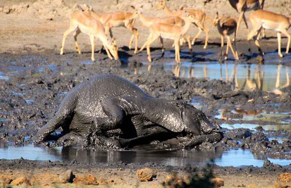 """南非小象泥地里打滚享受""""泥浆浴"""""""