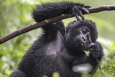 摄影师非洲拍摄山地大猩猩 揭其隐秘生活