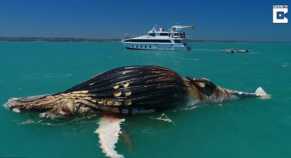 罕见!无人机捕捉虎鲨咸水鳄共享鲸鱼尸体画面