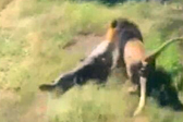惊险!动物园老板遭狮子袭击 险被拖入丛林