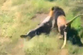 惊险!动物园老板惨遭狮子袭击险被拖入丛林