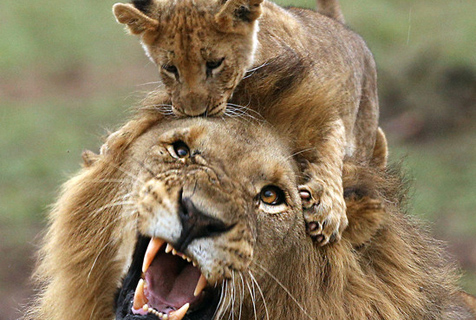"""南非小狮子揪头发啃脑袋""""实力坑爹"""""""