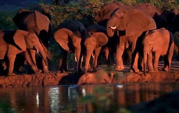南非公园一小象失足落水 象群集体施救
