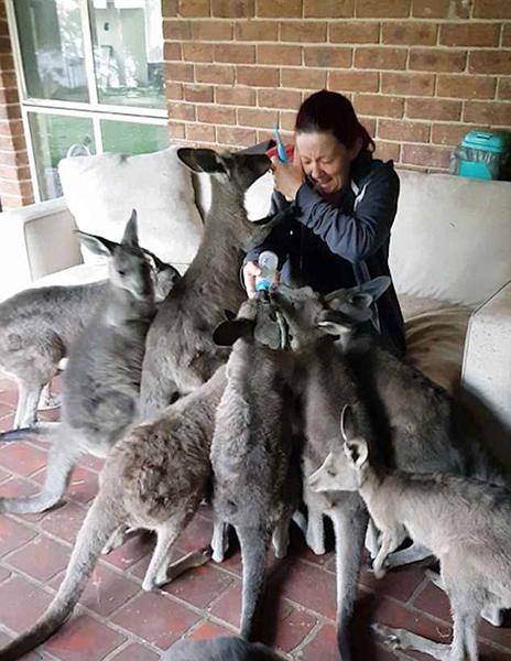 澳庇护所袋鼠宝宝团团围住工作人员讨奶喝