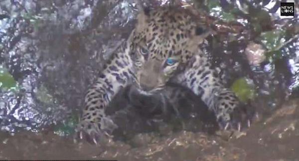 印度花豹追捕猎物掉入深井险丧命 幸最终获救