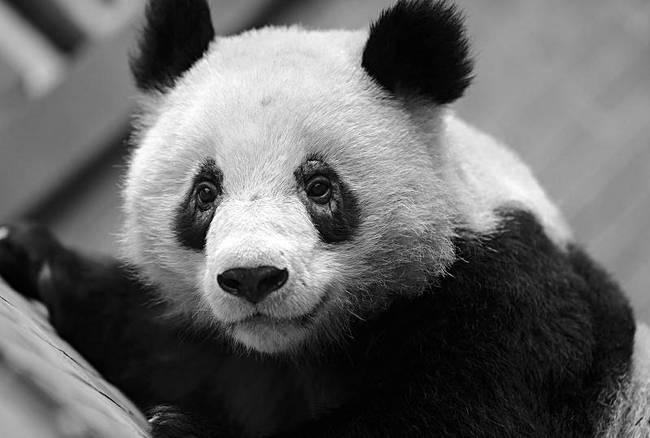 国宝病了!成都多只大熊猫黑眼圈变白