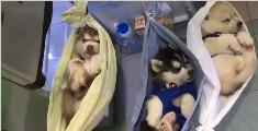 三只哈士奇宝宝睡吊床,从来没见过这么冷静的哈士奇