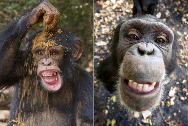 几内亚孤儿猩猩摆pose仰头甜笑 纯真模样惹人爱