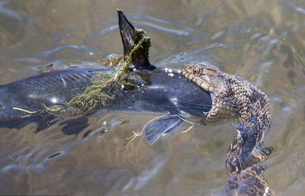 目瞪口呆!美摄影师拍到水蛇生吞鲶鱼全过程