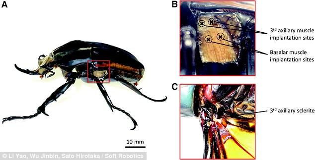 比无人机环保!科学家利用电磁脉冲控制甲壳虫