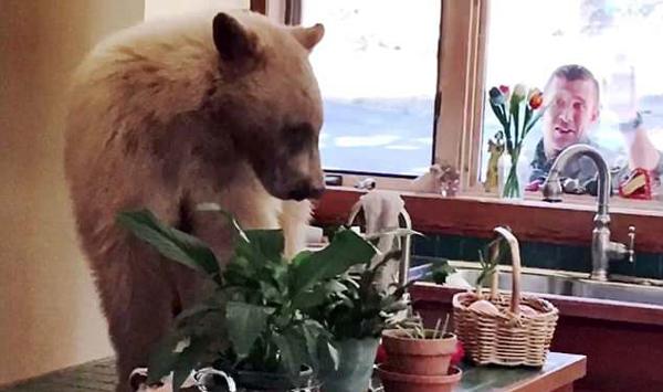 """美小棕熊饥饿难耐""""入室盗窃""""被赶跑"""